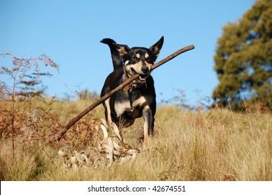 Dog retrieving a stick in Australian bush