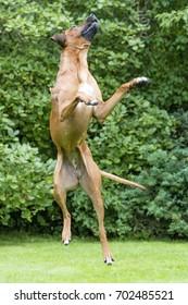 Dog. Rhodesian Ridgeback.