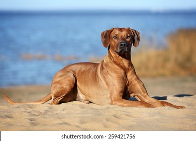 Dog Rhodesian Ridgeback lying on the beach near the water