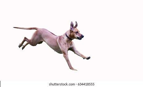 Dog (Rhodesian Ridgeback) ran collection on white background.