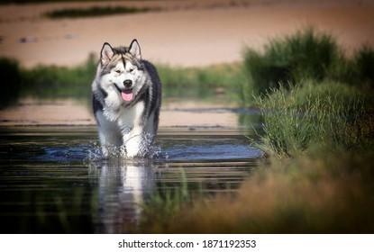 dog in the river alaskan malamute