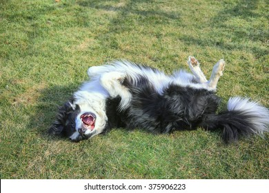A dog rolling in the summer grass