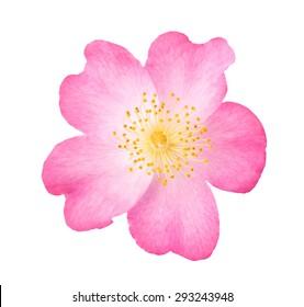 Dog rose flower isolated on white