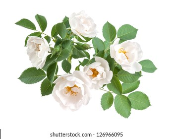 Dog rose flowers with leaves and bud, isolated on white background