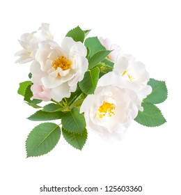 Dog rose flowers with leaves, isolated on white background