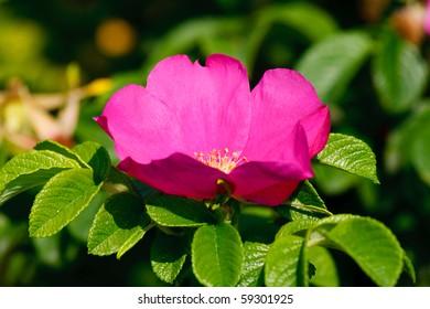 Dog rose on sunny day