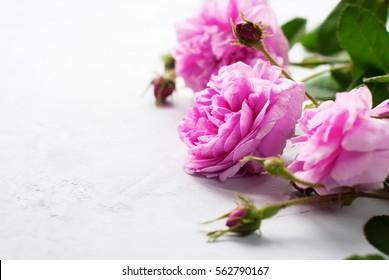 Dog Rose Pink Rosa Canina Flowers Grey Background Valentine Theme