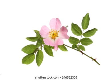 Dog rose, Rosa canina, flower and leaves isolated against white