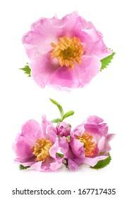 Dog rose (Rosa canina) flowers isolated on white background