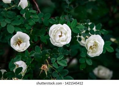 Dog rose,  rosa canina  with green leaves