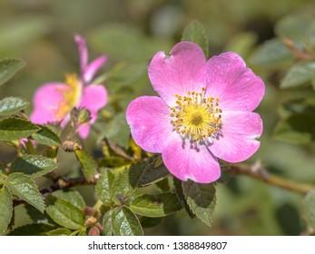 Dog rose (Rosa canina) pink flower in dune vegetation nature reserve