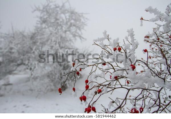 Dog rose in winter.
