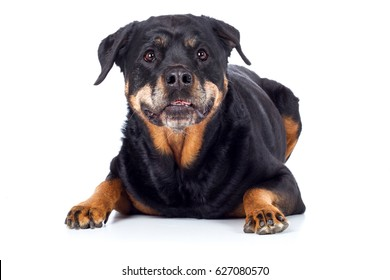 Dog Rottweiler lies frontally and peers curiously