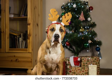 Dog with rudolf the reindeer hat sits in front of decorated fur tree and packed christmas presents