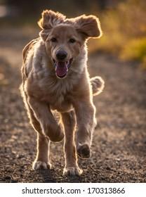 dog in running