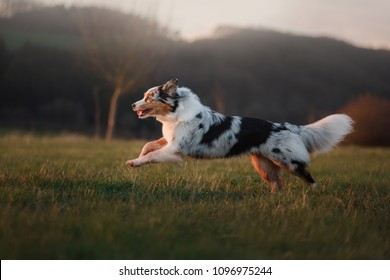 the dog is running around the field, the grass is on the nature at sunset. Active Australian Shepherd