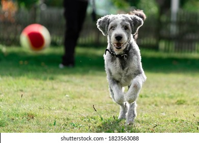 Dog running and chasing a ball during a game of fetch