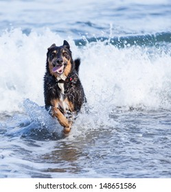 A dog running happily in the waves
