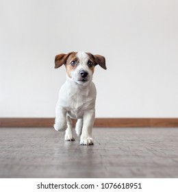 Dog running at home. Puppy jack russell terrier