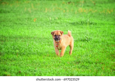 Dog running in the lawn