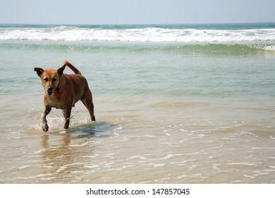 Dog running in the ocean, India beach