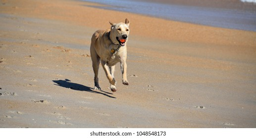 Dog running on the beach with a ball i