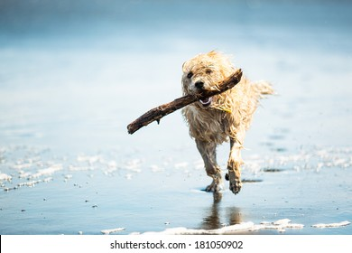 Dog running on the Beach with a Stick, Muriwai beach, New Zealand