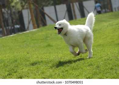 The dog is running on the grass