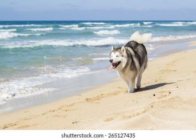 The dog running on sea beach
