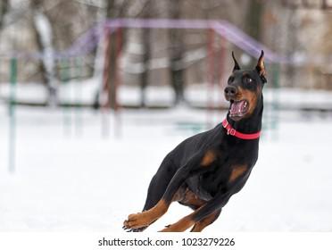 Dog running on snow in winter