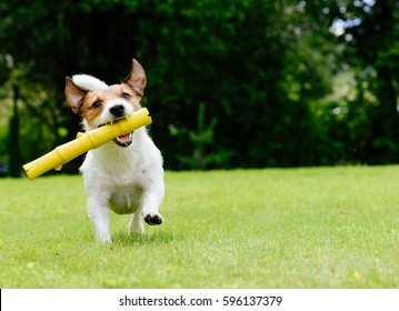 Dog running on summer lawn fetching toy