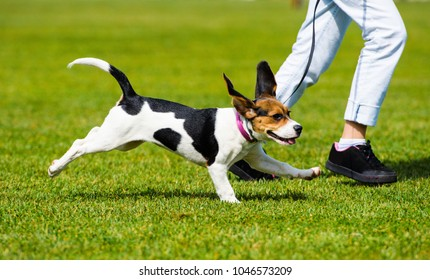The dog running on a walk with a woman.Fitness, sport, people and jogging concept.