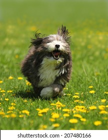 A dog running in the park with bright green grass in a blurred background and yellow dandelions