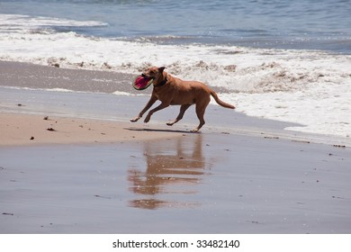 Dog running and playing on the ocean beach.
