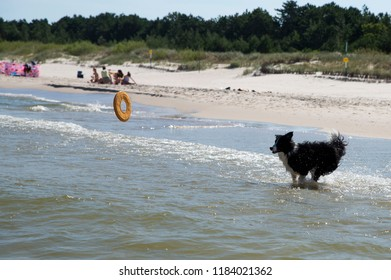 dog running retrieving a toy in the sea