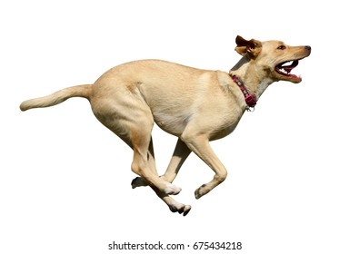 Dog running side with white background
