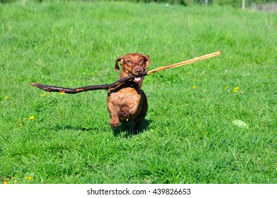 Dog is running with a stick. Dog breed standard smooth-haired dachshund, bright red color, female.