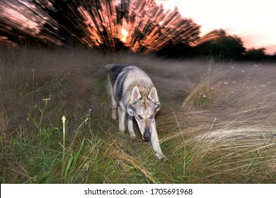 Dog running in tall green grass. Young dog and blurred background - sunset which looks like pyrotechnic and firework. Gray Alsatian in motion.