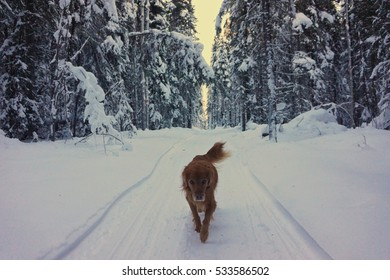 A dog running toward me on a hiking trail in a forest with a lot of beautiful, white snows in Fairbanks, Alaska