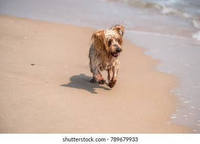 Dog running toward sea on the shore of the beach, Yorkshire Terrier doggie. Copy space, blurred background copy space