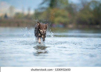Dog is running trough the water. Lapinporokoira in action.