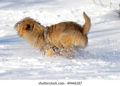 Dog is running very fast in the snow. The breed of the dog is a Cairn Terrier. Note motion blur.