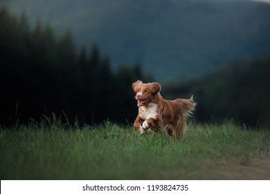 dog runs across the field in the grass. active pet in nature. Nova Scotia Duck Tolling Retriever in the open air