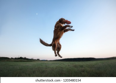 the dog runs across the field. sport with a pet movement. Active Toller, Nova Scotia Duck Tolling Retriever