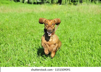 The dog runs along the grass, the dog follows the trail. A dog of the breed is a standard smooth-haired dachshund, the color is red.