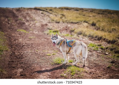 the dog runs around the mountains summer sibirian husky