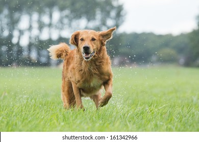 Dog runs in the field