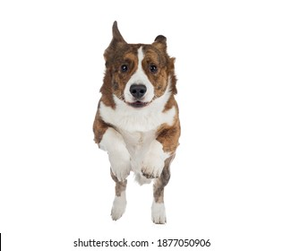 the dog runs forward. Active Welsh Corgi Pembroke in motion. Pet on a white background
