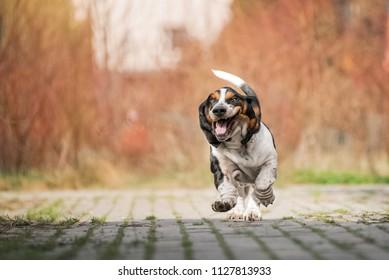 Dog runs forward to the camera, Basset hound