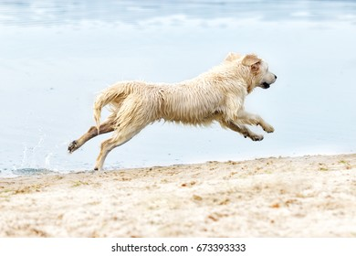 A dog runs and jumps on the beach